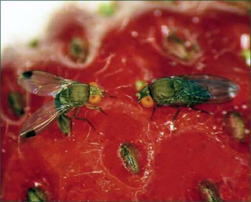 Flies on strawberry