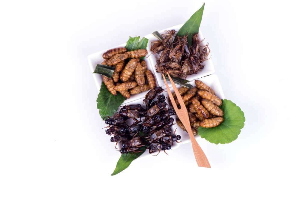 Fried pupa, fried crickets and fried acheta domesticus