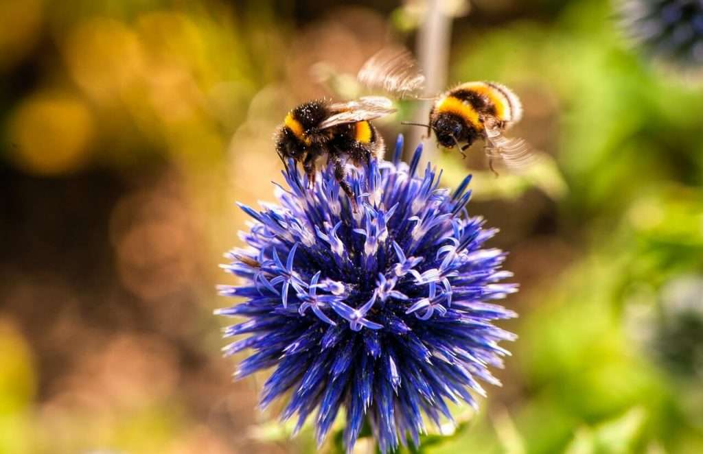 Bumble bees on pollinating a purple flower